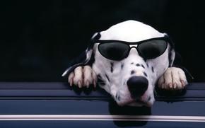 Картинка морда, лапы, очки, когти, Далматин, dalmatian