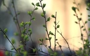Картинка макро, зелень, куст, почки, ветки, весна, листья