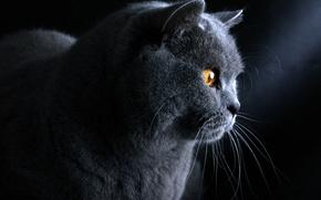 Картинка кот, голубой, британский