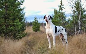 Картинка друг, собака, мраморный дог
