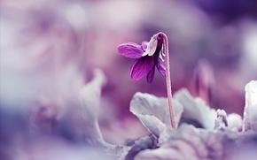 Картинка макро, сиреневый, растение, весна, Цветок, размытость