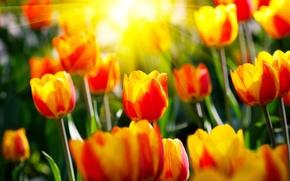 Картинка солнце, лучи, цветы, весна, сад, тюльпаны, парки, светл