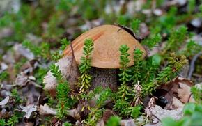 Картинка гриб, мох, подосиновик