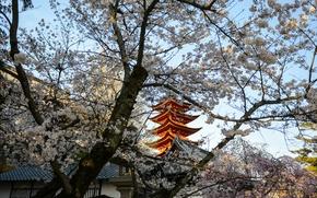 Картинка Япония, сакура, Japan