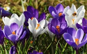 Обои шафран, макро, крокусы, пчела, весна