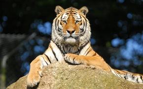 Картинка взгляд, тигр, отдых, камень, амурский