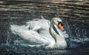 Картинка вода, капли, брызги, лебедь, плескается