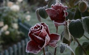 Картинка холод, иней, цветок, макро, цветы, природа, фон, обои, роза, растение, розы, сад, мороз