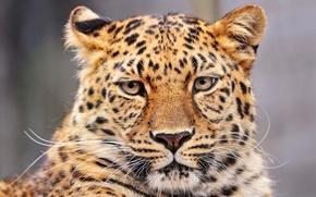 Обои Леопард, Panthera pardus, большая кошка, барс, пантера