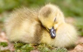 Картинка желтый, клюв, спит, утёнок