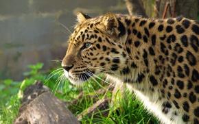 Обои леопард, дальневосточный, морда, профиль, крадётся, leopard, panthera pardus, трава