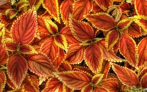 Обои листья, природа, краски, растение, Колеус Блюме