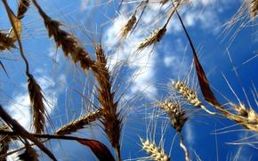 Обои Поля, Небо, Пшеница