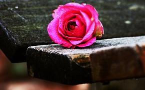 Картинка rose, wood, drops, bench