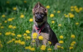 Картинка цветы, собака, луг, щенок, одуванчики, Немецкая овчарка