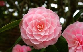 Картинка макро, розовый, Камелия