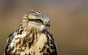 Обои взгляд, ястреб, bird, профиль, Buteo lagopus, Rough-legged hawk, Мохноногий канюк, portrait, птица, зимняк