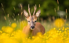 Картинка deer, direct gaze, fields of gold