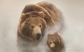 Обои snow, Russia, bears, Land of Bears, filmed in Russia, the Kamchatka Peninsula, Bears of Kamchatka ...