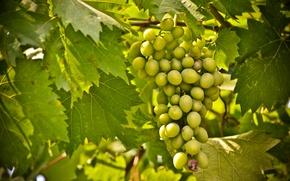 Картинка зелень, вкус, виноград, фрукты, лоза, grapes, изабелла, сочный