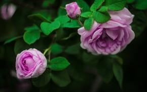 Картинка зелень, цветок, розовая, розы, красота, лепестки