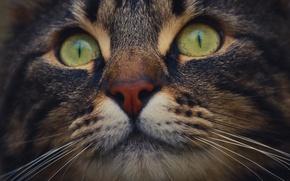 Обои глаза, кот, усы, макро, нос