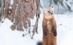 Картинка зима, снег, стойка, зверёк, куница