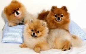 Картинка взгляд, собака, подушка, шпиц, троица