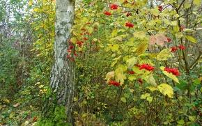 Картинка осень, лес, листья, деревья, ягоды, куст, калина