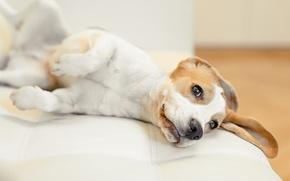 Картинка собака, бигль, snoopy, домашнее животное, щенок, puppy, dogs, снупи, beagle, dog, снуппи, pup
