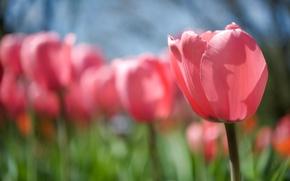 Картинка цветок, солнце, свет, природа, тепло, розовый, поляна, тюльпан, весна, стебель, бутон