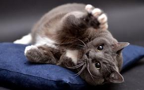 Картинка кошка, кот, взгляд, поза, серый, фон, лапа, лежит, подушка, британский, смешной, дикий, толстый