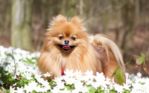 Обои собака, цветы, пёсик, шпиц, ветреница дубравная, Померанский шпиц