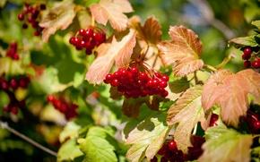 Картинка лето, природа, ягоды, калина