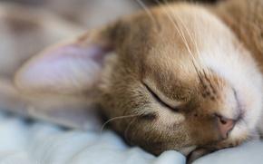 Обои животное, отдых, кот, спит, макро