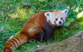Картинка трава, красная панда, firefox, малая панда
