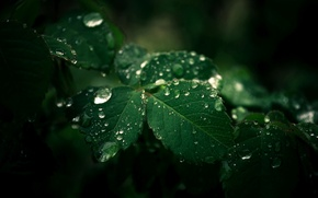 Обои листья, капли, макро, природа, капельки, зеленые