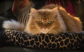 Обои кошка, кот, взгляд, мордочка, пушистая, рыжий кот
