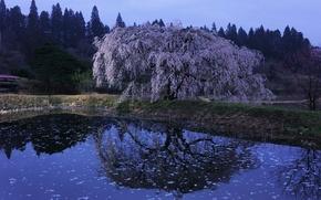 Картинка пруд, отражение, сакура, Japan, цветение, Kawachi Fuji gardens