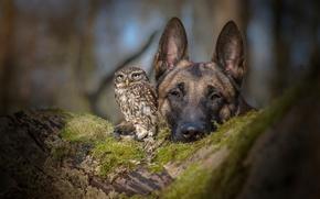 Картинка сова, собака, дружба, овчарка