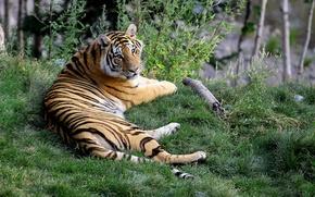 Обои трава, тигр, смотрит