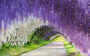 Картинка Japan, глициния, Wisteria, цветочный тоннель, flower tunnel, Kawachi Fuji Gardens