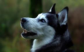 Картинка Собака, с голубыми глазами, бело-чёрная, няшная)