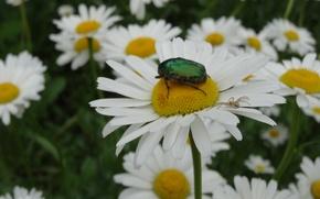 Картинка макро, цветы, паук, Ромашки, майский жук