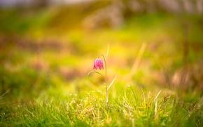 Картинка цветок, трава, боке