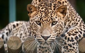 Картинка кошка, взгляд, морда, леопард
