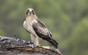 Картинка фон, птица, ветка, добыча, орел-карлик