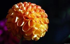 Картинка цветок, макро, Ribbon Flower
