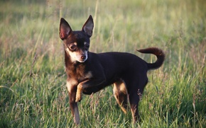 Картинка собака, чихуахуа, животное, собаки, фон, прогулка, обои, собачка