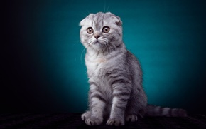 Картинка котенок, лапки, вислоухий, окрас, взгяд, порода